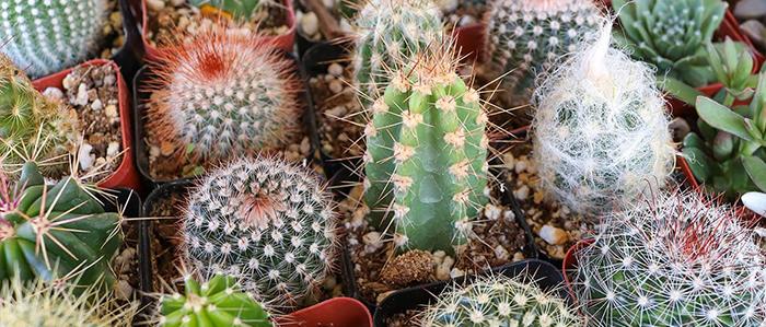 Cactus Show   Pinecrest Gardens